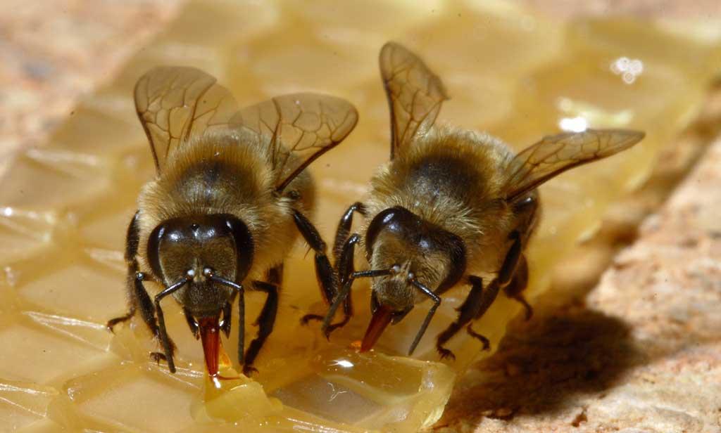 ape sicula sui favi
